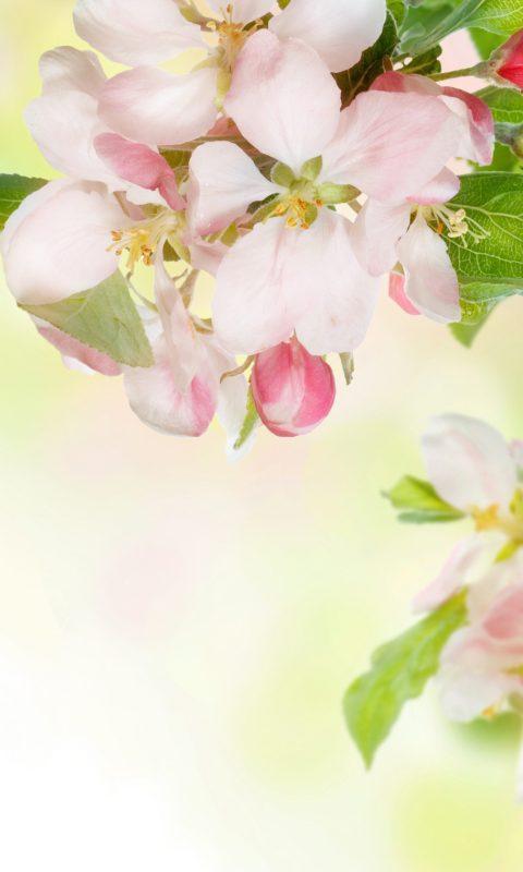 軟件 壁紙主題 >盛開的蘋果動態壁紙  感謝您查看我的盛開的蘋果動態